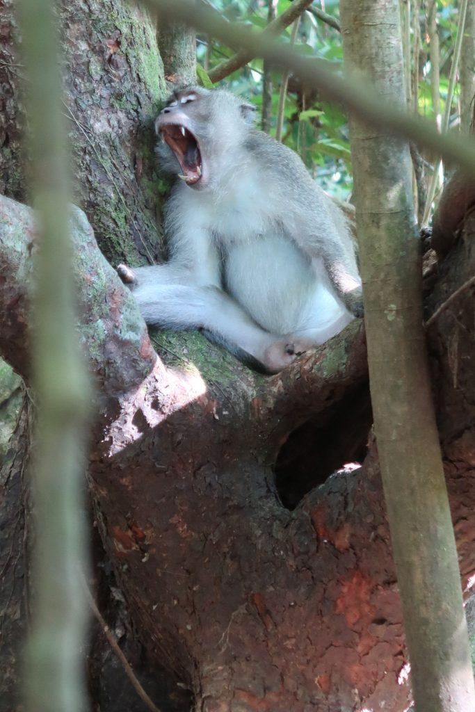 Apina Kinabatang joella Borneossa