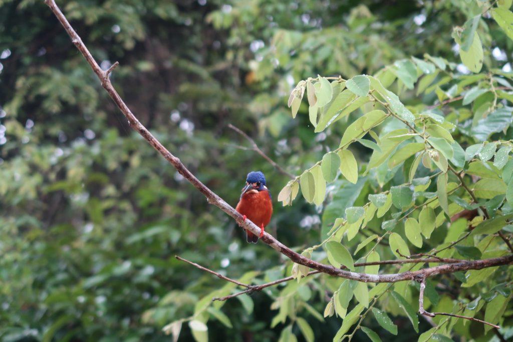 Lintu Kinabatang joella Borneossa