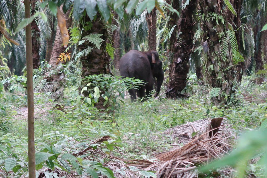Norsu Kinabatang joella Borneossa