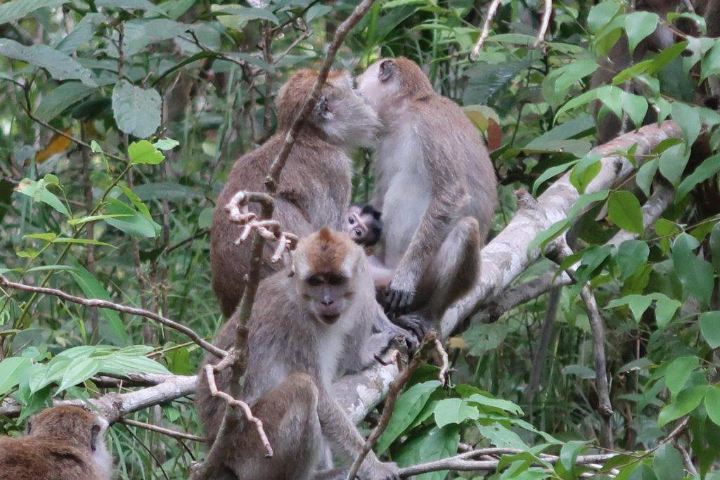 Apinoita Kinabatang joella Borneossa