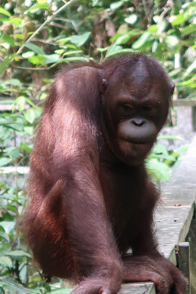 Borneo: Oranki Sepilokin orankien kuntoutuskeskuksessa Borneossa