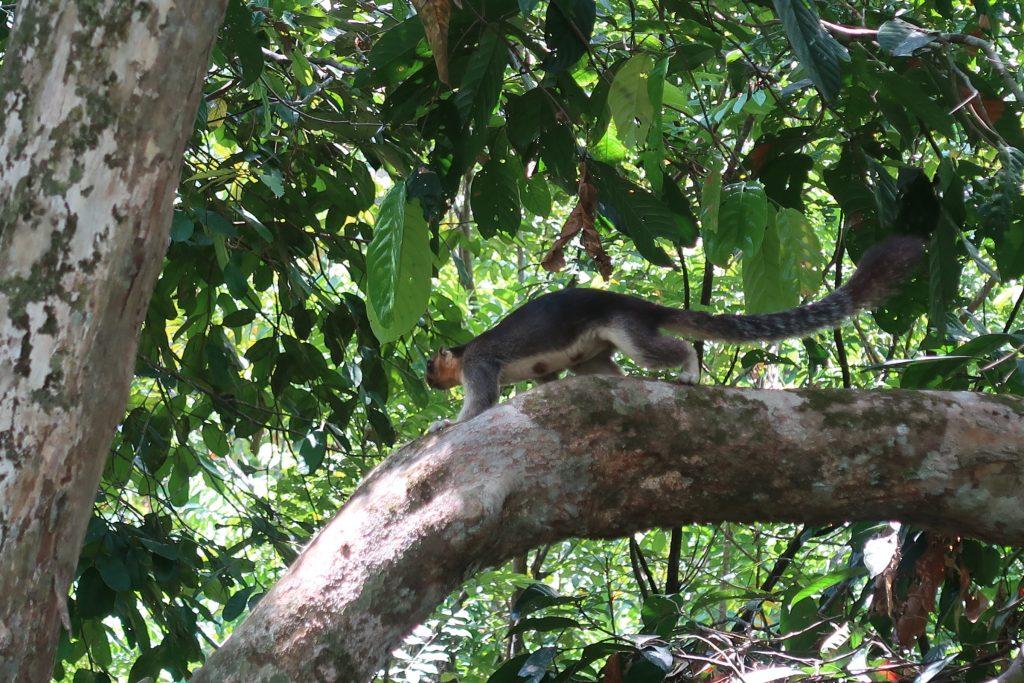 Sepilokin RDC sademetsää ja jättiläisorava Borneossa