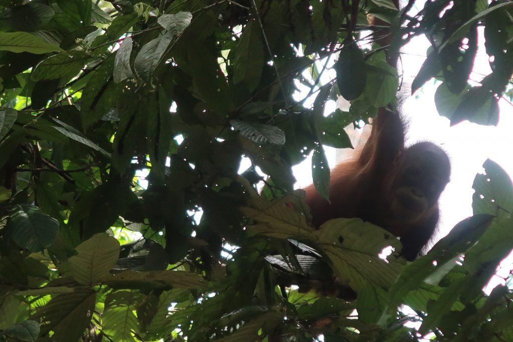 Borneo: Oranki Sepilokin RDC sademetsässä Borneossa