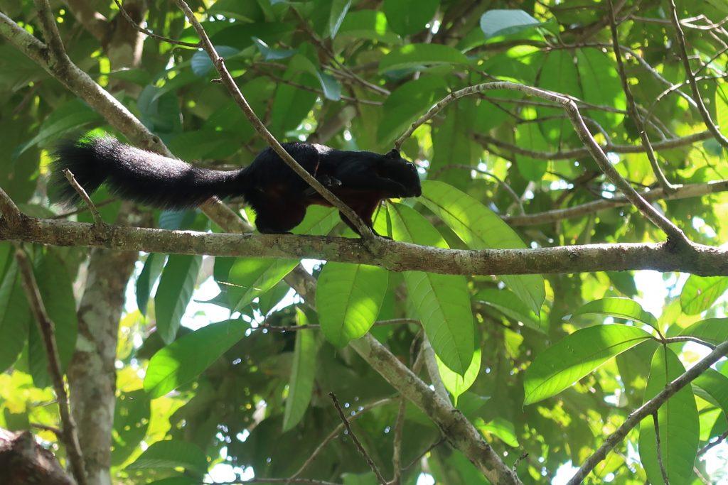 Sepilokin RDC sademetsää ja orava Borneossa