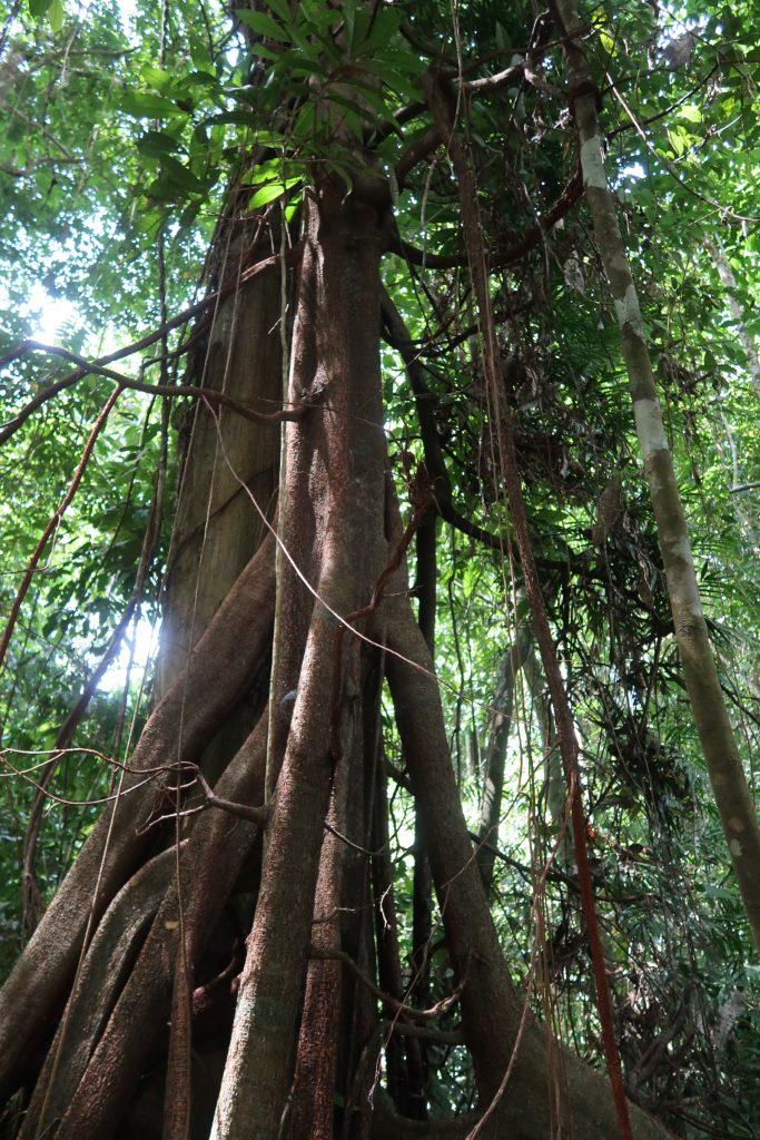 Borneo: Sepilokin RDC sademetsää Borneossa
