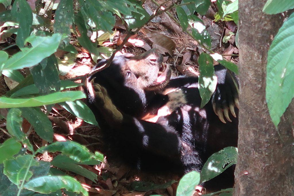 Borneo: Sepilokin aurinkokarhu ottamassa aurinkoa Borneossa