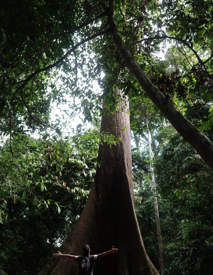 Borneo_janzujaisopuu